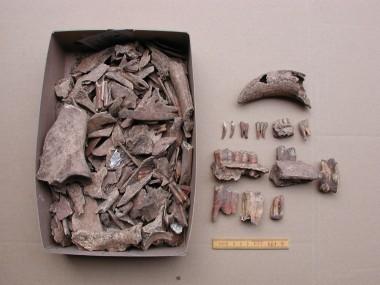 Stumper af tænder, knogler og horn fra kvæg, svin, får/ged og heste.